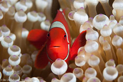 BD-141018-Komodo-5407-Amphiprion-chrysopterus.--Cuvier.-1830-[Orangefin-anemonefish].jpg